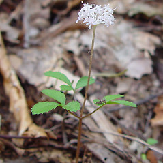 Plant form: Panax trifolius. ~ By Arthur Haines. ~ Copyright © 2020. ~ arthurhaines[at]wildblue.net