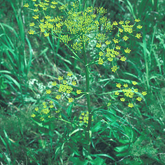 Plant form: Pastinaca sativa. ~ By John Lynch. ~ Copyright © 2019 New England Wild Flower Society. ~ Image Request, images[at]newenglandwild.org