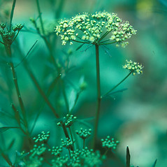Plant form: Petroselinum crispum. ~ By Jean Baxter. ~ Copyright © 2020 New England Wild Flower Society. ~ Image Request, images[at]newenglandwild.org