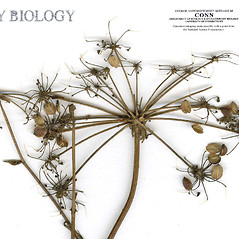 Fruits: Peucedanum palustre. ~ By CONN Herbarium. ~ Copyright © 2019 CONN Herbarium. ~ Requests for image use not currently accepted by copyright holder ~ U. of Connecticut Herbarium - bgbaseserver.eeb.uconn.edu/