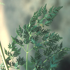 Leaves: Peucedanum palustre. ~ By Mary Walker. ~ Copyright © 2020 New England Wild Flower Society. ~ Image Request, images[at]newenglandwild.org