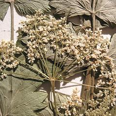 Flowers: Pimpinella saxifraga. ~ By Marilee Lovit. ~ Copyright © 2018 Marilee Lovit. ~ lovitm[at]gmail.com