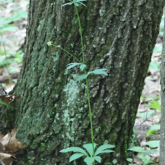 Plant form: Sanicula marilandica. ~ By Arieh Tal. ~ Copyright © 2020 Arieh Tal. ~ http://botphoto.com/ ~ Arieh Tal - botphoto.com