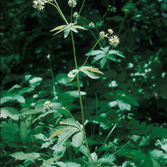 Plant form: Sanicula marilandica. ~ By Frank Bramley. ~ Copyright © 2019 New England Wild Flower Society. ~ Image Request, images[at]newenglandwild.org