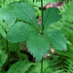 Leaves: Sanicula marilandica. ~ By Arieh Tal. ~ Copyright © 2020 Arieh Tal. ~ http://botphoto.com/ ~ Arieh Tal - botphoto.com