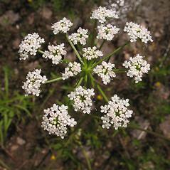 Flowers: Sium suave. ~ By Marilee Lovit. ~ Copyright © 2019 Marilee Lovit. ~ lovitm[at]gmail.com