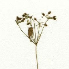 Stems: Taenidia integerrima. ~ By CONN Herbarium. ~ Copyright © 2017 CONN Herbarium. ~ Requests for image use not currently accepted by copyright holder ~ U. of Connecticut Herbarium - bgbaseserver.eeb.uconn.edu/