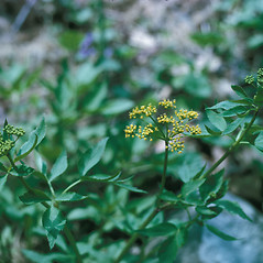 Plant form: Thaspium trifoliolatum. ~ By Lawrence Newcomb. ~ Copyright © 2017 New England Wild Flower Society. ~ Image Request, images[at]newenglandwild.org