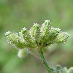 Fruits: Torilis japonica. ~ By Paul Busselen . ~ Copyright © 2019 Paul Busselen . ~ No permission necessary; any use permitted ~ Plant Guide, Biology Department, Katholieke Universiteit Leuven, Campus Kortrijk