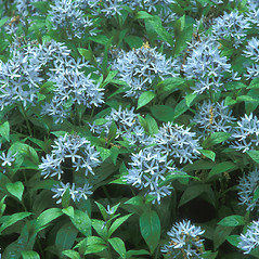 Flowers: Amsonia tabernaemontana. ~ By Hal Horwitz. ~ Copyright © 2017 New England Wild Flower Society. ~ Image Request, images[at]newenglandwild.org