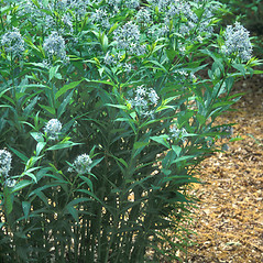 Plant form: Amsonia tabernaemontana. ~ By Hal Horwitz. ~ Copyright © 2019 New England Wild Flower Society. ~ Image Request, images[at]newenglandwild.org