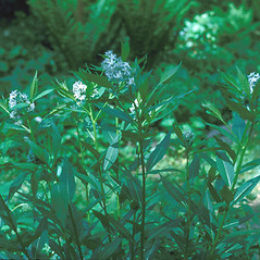Leaves: Amsonia tabernaemontana. ~ By Frank Bramley. ~ Copyright © 2019 New England Wild Flower Society. ~ Image Request, images[at]newenglandwild.org