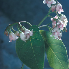 Flowers: Apocynum androsaemifolium. ~ By Adelaide Pratt. ~ Copyright © 2018 New England Wild Flower Society. ~ Image Request, images[at]newenglandwild.org
