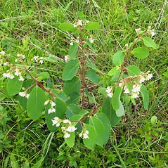 Plant form: Apocynum androsaemifolium. ~ By Donna Kausen. ~ Copyright © 2017 Donna Kausen. ~ 33 Bears Den, Addison, ME 04606