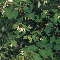 Leaves: Apocynum androsaemifolium. ~ By Albert Bussewitz. ~ Copyright © 2017 New England Wild Flower Society. ~ Image Request, images[at]newenglandwild.org
