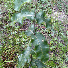 Leaves: Asclepias amplexicaulis. ~ By Douglas McGrady. ~ Copyright © 2017 Douglas McGrady. ~ demcgrady[at]hotmail.com