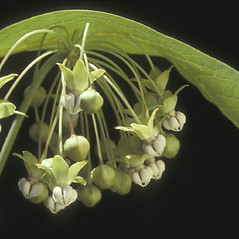 Flowers: Asclepias exaltata. ~ By Albert Bussewitz. ~ Copyright © 2017 New England Wild Flower Society. ~ Image Request, images[at]newenglandwild.org