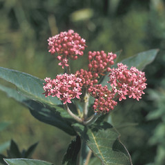 Flowers: Asclepias incarnata. ~ By Frank Bramley. ~ Copyright © 2020 New England Wild Flower Society. ~ Image Request, images[at]newenglandwild.org