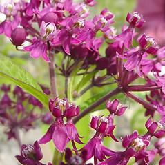 Flowers: Asclepias incarnata. ~ By Glen Mittelhauser. ~ Copyright © 2018 Glen Mittelhauser. ~ www.mainenaturalhistory.org