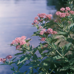 Plant form: Asclepias incarnata. ~ By Frank Bramley. ~ Copyright © 2017 New England Wild Flower Society. ~ Image Request, images[at]newenglandwild.org