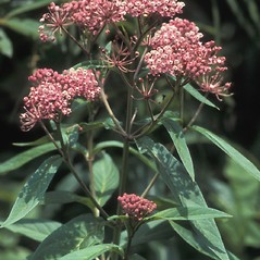 Flowers: Asclepias incarnata. ~ By John Lynch. ~ Copyright © 2019 New England Wild Flower Society. ~ Image Request, images[at]newenglandwild.org