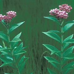 Leaves: Asclepias incarnata. ~ By Frank Bramley. ~ Copyright © 2020 New England Wild Flower Society. ~ Image Request, images[at]newenglandwild.org