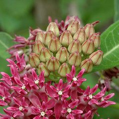 Flowers: Asclepias purpurascens. ~ By Steven Baskauf. ~ Copyright © 2018 CC-BY-NC-SA. ~  ~ Bioimages - www.cas.vanderbilt.edu/bioimages/frame.htm