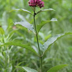 Plant form: Asclepias purpurascens. ~ By Mareike Conrad. ~ Copyright © 2018 Mareike Conrad. ~ mareike.conrad[at]googlemail.com