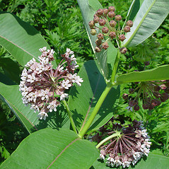 Flowers: Asclepias syriaca. ~ By Arthur Haines. ~ Copyright © 2020. ~ arthurhaines[at]wildblue.net