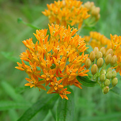 Flowers: Asclepias tuberosa. ~ By Arthur Haines. ~ Copyright © 2017. ~ arthurhaines[at]wildblue.net