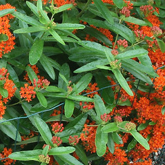 Leaves: Asclepias tuberosa. ~ By Arieh Tal. ~ Copyright © 2019 Arieh Tal. ~ http://botphoto.com/ ~ Arieh Tal - botphoto.com