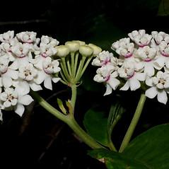 Flowers: Asclepias variegata. ~ By Steven Baskauf. ~ Copyright © 2018 CC-BY-NC-SA. ~  ~ Bioimages - www.cas.vanderbilt.edu/bioimages/frame.htm