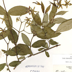 Leaves: Periploca graeca. ~ By CONN Herbarium. ~ Copyright © 2019 CONN Herbarium. ~ Requests for image use not currently accepted by copyright holder ~ U. of Connecticut Herbarium - bgbaseserver.eeb.uconn.edu/
