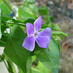 Flowers: Vinca major. ~ By Arthur Haines. ~ Copyright © 2018. ~ arthurhaines[at]wildblue.net