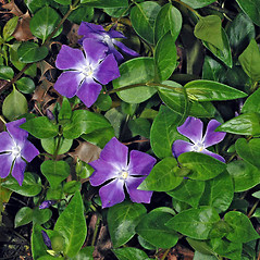 Plant form: Vinca major. ~ By Gerry Carr. ~ Copyright © 2018 Gerry Carr. ~ gdcarr[at]comcast.net ~ Oregon Flora Image Project - www.botany.hawaii.edu/faculty/carr/ofp/ofp_index.htm