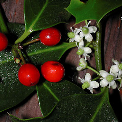 Flowers: Ilex aquifolium. ~ By Gerry Carr. ~ Copyright © 2018 Gerry Carr. ~ gdcarr[at]comcast.net ~ Oregon Flora Image Project - www.botany.hawaii.edu/faculty/carr/ofp/ofp_index.htm
