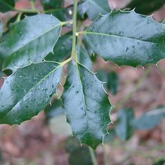 Leaves: Ilex aquifolium. ~ By Arnold Arboretum. ~ Copyright © 2017 Arnold Arboretum. ~ Arnold Arboretum Horticultural Library, hortlib[at]arnarb.harvard.edu