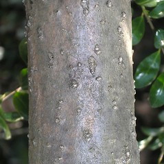 Bark: Ilex crenata. ~ By Bruce Patterson. ~ Copyright © 2018 Bruce Patterson. ~ foxpatterson[at]comcast.net