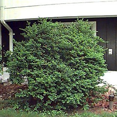 Plant form: Ilex crenata. ~ By Mark Brand. ~ Copyright © 2019 Mark Brand. ~ http://www.hort.uconn.edu/plants/index.html ~ UConn Plant Database of Trees, Shrubs, and Vines - www.hort.uconn.edu/plants/index.html