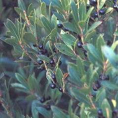 Fruits: Ilex glabra. ~ By Catherine Heffron. ~ Copyright © 2019 New England Wild Flower Society. ~ Image Request, images[at]newenglandwild.org