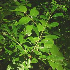 Plant form: Ilex glabra. ~ By Glen Mittelhauser. ~ Copyright © 2019 Glen Mittelhauser. ~ www.mainenaturalhistory.org