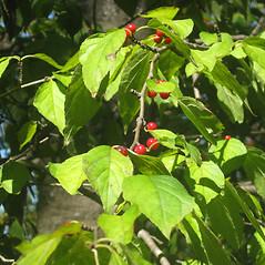 Plant form: Ilex montana. ~ By Karen Hirschberg. ~ Copyright © 2018 Karen Hirschberg. ~ karen.hirschberg[at]state.ma.us