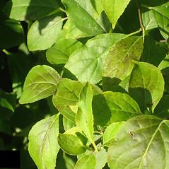 Leaves: Ilex montana. ~ By Karen Hirschberg. ~ Copyright © 2018 Karen Hirschberg. ~ karen.hirschberg[at]state.ma.us