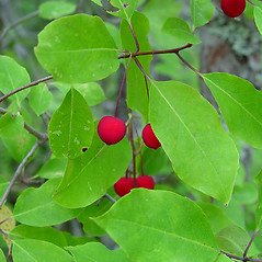 Fruits: Ilex mucronata. ~ By Arthur Haines. ~ Copyright © 2020. ~ arthurhaines[at]wildblue.net