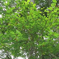 Plant form: Ilex mucronata. ~ By Alexey Zinovjev. ~ Copyright © 2018. ~ webmaster[at]salicicola.com ~ Salicicola - www.salicicola.com/