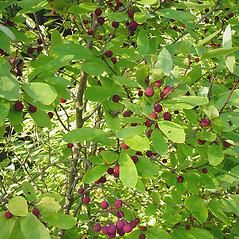 Plant form: Ilex mucronata. ~ By Glen Mittelhauser. ~ Copyright © 2018 Glen Mittelhauser. ~ www.mainenaturalhistory.org