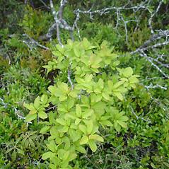 Plant form: Ilex mucronata. ~ By Jill Weber. ~ Copyright © 2018 Jill Weber. ~ jillweber03[at]gmail.com