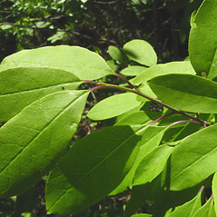 Leaves: Ilex mucronata. ~ By Donna Kausen. ~ Copyright © 2020 Donna Kausen. ~ 33 Bears Den, Addison, ME 04606