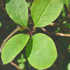Leaves: Ilex mucronata. ~ By Glen Mittelhauser. ~ Copyright © 2020 Glen Mittelhauser. ~ www.mainenaturalhistory.org