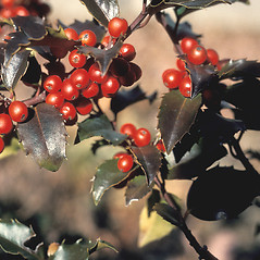 Fruits: Ilex opaca. ~ By John Lynch. ~ Copyright © 2019 New England Wild Flower Society. ~ Image Request, images[at]newenglandwild.org